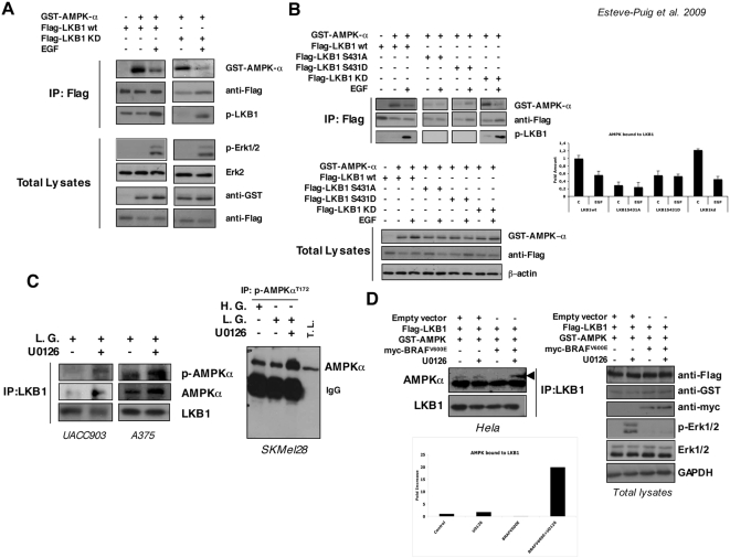 Growth factor treatment and BRAF V600E promotes LKB1-AMPKα disassembly. (A) 293T cells were transiently transfected for 48 h with Flag-LKB1, Flag-LKB1KD (kinase dead) and GST-AMPKα as indicated. Then, cells were treated with 100 ng/ml of EGF for 10 min. Immunocomplexes pulled down with an anti-Flag-resin were separated by SDS-PAGE and proteins present in the complexes were analyzed by western blot. Total lysates show the transfection controls and the response to growth factor treatment. (B) 293T cells were transiently transfected with the constructs indicated. Then, cells were serum starved for 2 h and treated with 100 ng/ml of EGF for 10 min and protein complexes were immunoprecipitated with anti-Flag-resin. Protein complexes were separated by SDS-PAGE. Levels of GST-AMPKα, Flag-LKB1 constructs and the phosphorylation state of LKB1 Ser431 in the complexes are shown. Quantification of the amount of GST-AMPKα normalized to the Flag-LKB1 immunoprecipitated is represented in the graph. Total lysates are shown for control transfection of the different samples. (C) Endogenous LKB1 from UACC903 and A375 melanoma cells growing in low glucose medium (L.G.) with or without 10 µM U0126 was immunoprecipitated. Western-blot from the immunoprecipitated samples was probed against LKB1, AMPKα and p-AMPKα T172 antibodies. On the right, total lysates from SKMel28 melanoma cells growing in complete medium (High Glucose, H.G.) low glucose medium (L.G.) in the presence or absence of 10 µM U0126 were subjected to immunoprecipitation with the anti-p-AMPKα T172 . Samples were separated by SDS-PAGE. Total lysates (T.L.) from low glucose plus U0126 treated cells are showed as a control. Western-Blot of the immunoprecipitated samples was performed against total AMPKα antibody. (D) Hela cells were transfected with Flag-LKB1, GST-AMPKα and myc-BRAF V600E or and empty vector as indicated. Flag-LKB1 was immunoprecipitated and western-blots from immunoprecipitated samples were probed against the 