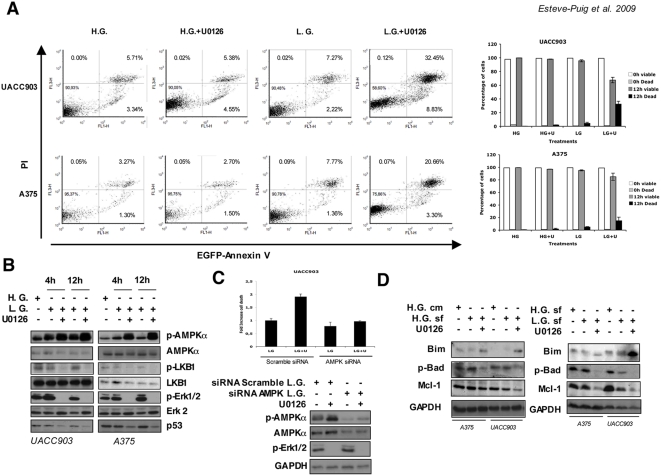Restoration of the LKB1-AMPKα pathway in BRAF V600E melanoma cells induces apoptosis under energy stress conditions. (A) UACC903, A375 and SKMel28 human melanoma cells were grown in complete medium (H.G.), or low glucose medium (L.G.) with or without 10 µM of the Mek1/2 specific inhibitor U0126 for 12 h. Then, Annexin V and PI (propidium iodide) positive cells were analyzed by flow cytometry. Histograms show the result from FACS analysis. Graphs on the right show the percentage of viable and dead cells in a parallel experiment under the same conditions determined by nuclear staining exclusion (Guava-ViaCount). (B) Time course at 4 and 12 hours showing the LKB1-AMPKα pathway status under the same conditions. UACC903, A375 and SKMel28 human melanoma cells were grown in complete medium (high glucose H.G.), low glucose medium (L.G.) with or without 10 µM of the Mek1/2 specific inhibitor U0126 for the times indicated. Fifty micrograms of total protein lysates were separated by SDS-PAGE and same membranes were blotted against the indicated antibodies. All experiments were done at least three times. Representative experiments are shown. (C) UACC903 cells were transfected either with a scramble siRNA or with equimolar amounts of AMPKα1 and AMPKα2 siRNAs for a total concentration of 100 nM. 72 hours after transfection cells were starved in low glucose medium for 6 hours in the presence or absence of 10 µM of U0126. Dead cells were quantified by nuclear staining exclusion (Guava-ViaCount). Western-blots show the levels of p-AMPKα T172 , AMPKα and p-Erk1/2 Thr202/Tyr204 under the different conditions. (D) UACC903 and A375 melanoma cells were grown in complete medium (H.G. cm), serum free high glucose medium (H.G. sf), serum free low glucose medium (L.G.), serum free complete medium plus U0126 10 µM (H.G.+U0126) and low glucose serum free medium plus U0126 10 µM (L.G.+U0126) for 12 hours. The levels of Bim, phospho-Bad and Mcl-1 are showed under the different experimental condi