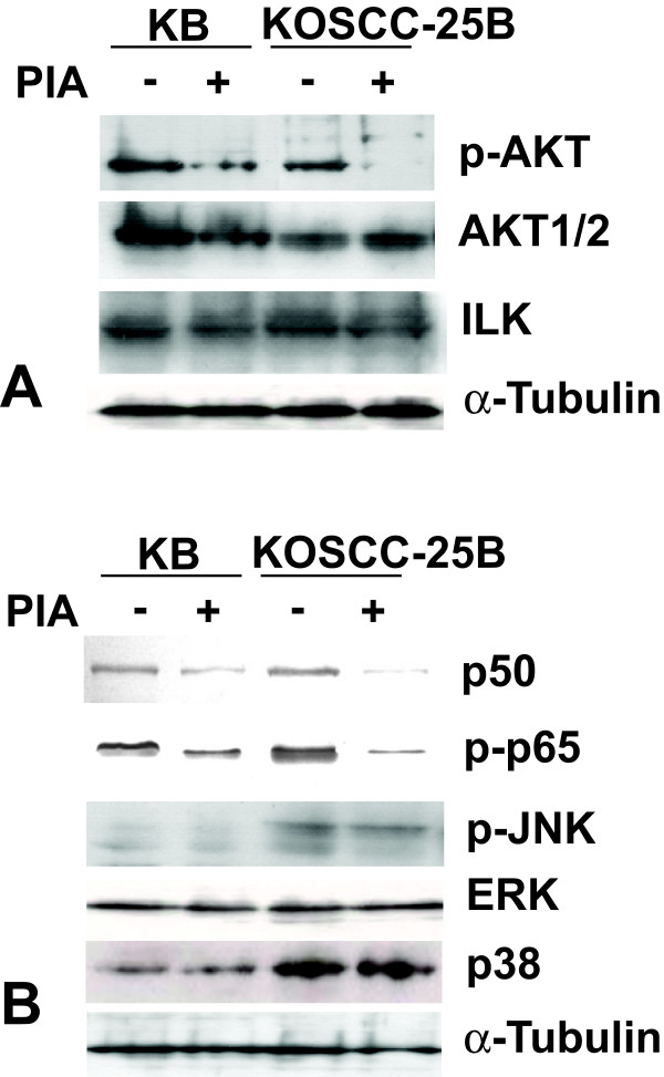 Effects of PIA treatment on Akt and Akt-related signaling molecules . (A) P-Akt level in KB and KOSCC-25B cells was significantly lower after 5 μM PIA treatment for 24 hours. However, Akt1/2 and ILK (upstream molecules of Akt) did not show any change after PIA treatment. (B) Inhibition of Akt activity by PIA induced downregulation of p50 and p-p65 in KB and KOSCC-25B cells, but it did not affect phosphorylation of JNK, p38, and ERK.