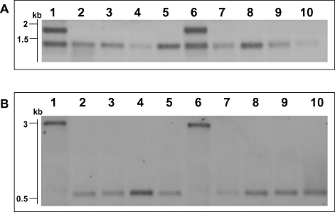 Sothern blotting investigation of truncated linear plasmid. A. Analysis of tir region of pBSSB1 and derivatives using labelled DNA prepared from a PCR amplicon (primers tir_f and tir_g) generated with template DNA from S. Typhi 404ty -fliC (d) as probe against genomic DNA digested with EcoRV. Lanes: 1, S. Typhi 403ty -fliC (j); 2, 403tya; 3, 403tyb; 4, 403tyc; 5, 403tyd; 6, S. Typhi 404ty -fliC (d); 7, 404tya; 8, 404tyb; 9, 404tyc and 10, 404tyd. Sizes estimated to migration of Hyperladder I (Bioline). B. Analysis of new right terminus of the truncated plasmids. Genomic DNA digested with SacI and probed with a PCR amplicon specific for the 5′ region of the fljB z66 gene generated with template DNA from S. Typhi 404ty -fliC (d). Lanes as Fig. 5A .