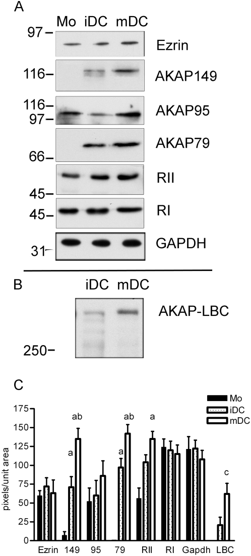 Identification of AKAPs in dendritic cells by western analysis. Monocytes were isolated from PBMC by negative isolation of CD14 + cells (Mo), plated in culture for 5 days with GM-CSF and IL-4 (immature DC; iDC) or plated for five days with GM-CSF and IL-4 and an additional two days with LPS (mature DC; mDC). See Materials and Methods for details. A) One representative set of westerns in which 10 µg total protein was loaded in each lane. Membranes were probed with monoclonal antibodies to AKAP149, AKAP95, AKAP79, RIIα, RIα, and GAPDH, goat-anti-mouse HRP conjugated secondary and chemiluminescence detection. B) One representative western in which 10 µg of total protein was loaded in each lane. The membrane was probed with a rabbit polyclonal antibody to AKAP-Lbc (generous gift of Dr. Diviani), goat-anti-rabbit HRP conjugated secondary and chemiluminescence detection. C) Quantitation of five westerns using NIH image quantitation software. One way ANOVA for three correlated samples yielded significance with p = 0.0004 for AKAP149; p