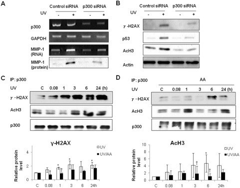 p300 siRNA suppressed UV-induced MMP-1 expression and inhibited UV-enhanced levels of γ-H2AX, p53 and acetyl-H3, and AA inhibited interaction of p300 with γ-H2AX or acetyl-H3 after UV. HDFs were transfected with scrambled control siRNA and p300 siRNA at 100 nM using Lipofectamine as recommended by the manufacturer. A, HDFs were irradiated with UV and incubated at 37°C 24 h after transfection with scrambled control or p300 siRNA. The MMP-1 mRNA level was analyzed by RT-PCR and the amount of MMP-1 protein was analyzed by western blot. B, The effect of p300 siRNA on the protein levels of γ-H2AX, p53, and acetyl-H3 were analyzed by western blotting. C, HDFs were UV-irradiated. After 6 h, whole cell lysates were immunoprecipitated with anti-p300 antibody. D, HDFs were UV-irradiated and post-treated with AA for 6 h. Whole cell lysates were immunoprecipitated with anti-p300 antibody. Proteins were immunoblotted with anti-p300, anti-acetyl-H3, and anti-γ-H2AX antibodies ( upper panels ). Bar graphs ( lower panels ) show quantitative analysis of scanning densitometric values of γ-H2AX, p53, and acetyl-H3 as ratios to β-actin, which was used as a loading control. Data shown are representative of three independent experiments. C: control, UV: UV-irradiated cells, AA: AA treated cells, UV/AA: UV irradiated cells incubated with AA. *P
