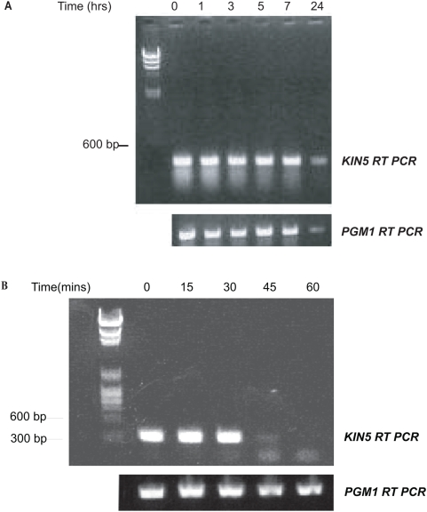 Stability of KIN5 and PGM1 messages. A. CU522 cells grown in starvation conditions+5.0 µg/ml Cd 2+ prior to transformation showing comparable relative stabilities of the KIN5 and PGM1 mRNA. B. Time course of degradation of KIN5 message after sh RNA induction in K5KOAs.40 cells using 5.0 µg/ml Cd 2+ . RT-PCR products resolved on a 1% agarose gel. Left lane: DNA markers. The KIN5 message decreases at 45 min post-induction and is eliminated at 60 min. The PGM1 message remains constant.