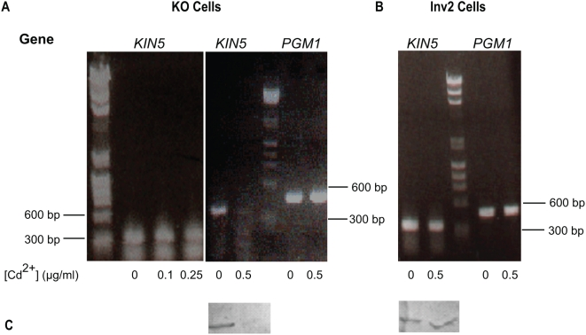 Optimization of KIN5 sh RNA. A. Degradation of KIN5 message after sh RNA induction in KO cells using 0–0.5 µg/ml Cd 2+ . Above: RT-PCR products resolved on a 1% agarose gel. At Cd 2+ concentrations lower than 0.5 µg/ml, KIN5 mRNA is stable for 24 h. After 24 h in 0.5 µg/ml Cd 2+ , KIN5 mRNA is dramatically decreased, while PGM1 is unaffected. B. Effect of 0.5 µg/ml Cd 2+ on KIN5 and PGM1 messages in Inv2 cells. KIN5 and PGM1 mRNA levels remain unaffected after 24 h. DNA markers shown: lines indicate 600 and 300 bp. C. Effect of 0.5 µg/ml Cd 2+ on Kin5 protein levels in KO and Inv2 cells. Corresponding KO (left) and Inv2 (right) cell homogenates 12 h post-induction at either 0 or 0.5 µg/ml Cd 2+ and blotted with K5T1 Ab to Kin5. While the Kin5 protein is severely knocked down in the KO cells upon sh RNA induction, Kin5 levels remain unaffected in Inv2 cells under similar conditions.