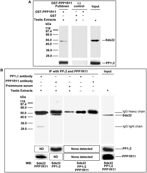 Sds22, PPP1R11, and PP1γ2 are bound to each other in crude testis protein extracts. A . The recombinant proteins <t>GST-PPP1R11</t> and control GST were incubated with testis cell lysates in the presence of <t>Glutathione-Sepharose</t> beads. The eluted proteins and testis extracts alone were resolved by SDS-PAGE and subjected to western blot analysis with anti-Sds22 and anti-PP1γ2 antibodies. B . Testis protein extracts and buffer controls were incubated with anti-PP1γ2, anti-PPP1R11, or preimmune serum immobilized on Protein G-Sepharose-4 beads, as indicated at the top of the figure. The immunoprecipitates were separated by SDS-PAGE and immunoblotted for the proteins indicated at the bottom of the figure. (ND: not done).