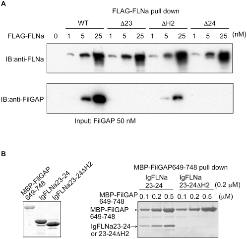 FLNa dimerization and hinge-2 are essential for high avidity binding to FilGAP. (A) Full-length FilGAP was pulled down with increasing amounts of wild-type and deletion mutants (Ä23; deletion of IgFLNa23, ÄH2; deletion of FLNa hinge-2, Ä24; deletion of IgFLNa24) of FLNa tagged to FLAG immunoprecipitated with FLAG-specific mAb immobilized on agarose. Bound FilGAP was detected by immunoblotting using rabbit pAbs to FilGAP. (B) Left panel shows purified MBP-FilGAP649-748, IgFLNa23-24, and IgFLNa23-24 ÄH2 separated on SDS-PAGE and stained with CBB. Right panel; IgFLNa23-24 or IgFLNa23-24 ÄH2 were pulled down with amylose beads coated with increasing amounts of the MBP-FilGAP649-748. Proteins were visualized by CBB staining.