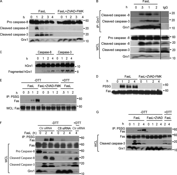 FasL induces caspase-dependent cleavage of Grx1 and increases PSSG as well as S-glutathionylation of Fas. (A) Immunoblot analysis of cleaved caspase-8 (p18) and -3 fragments (p17 and p19) in C10 cells treated with FasL + M2 as described in Fig. 1 in the presence or absence of 10 µM ZVAD-FMK. The bottom panel shows total cellular content of Grx1. Note that expression of the pro form of caspase-8 remains unchanged during the course of the experiment. (B) Evaluation of the interaction between Grx1 and caspase-8 or -3 in cells. C10 cells were exposed to FasL + M2 as described in Fig. 1 A , and Grx1 was immunoprecipitated (IP) at the indicated times for the evaluation of association with active caspase-8 or -3 fragments via Western blotting. The bottom panel represents a Grx1 immunoblot. Lanes on the right represent lysates from cells treated with FasL + M2 for 2 h but were subjected to IgG IP as a reagent control. All samples were run on the same gel, and the lanes were cut and reassembled for consistency. The bottom panels represent total content of proteins in whole cell lysates (WCL) that were used as the input for IP. Note that expression of the pro form of caspase-8 remains unchanged during the course of the experiment. Black line indicates that intervening lanes have been spliced out. (C) In vitro assessment of cleavage of Grx1 by caspase-8 or -3. 200 ng recombinant hGrx1 was incubated with 200 U active caspase-8 or -3. At the indicated times, samples were prepared for immunoblot analysis of hGrx1. Fragmented hGrx1 product is ∼8 kD in size. Incubation of heat-inactivated caspase-8 and -3 with hGrx1 for 4 h largely prevented the formation of cleaved fragment (0 h). (D) Increases in overall PSSG are a response to ligation of Fas and are caspase dependent. Cells were incubated as described in A. ZVAD-FMK or vehicle was added to cells 2 h before ligation of Fas as well as 2 h after ligation. Lysates were resolved by nonreducing SDS-PAGE. Antiglutathione antibody was used to detect PSSG on immunoblots. The bottom panel shows total Fas content. (E) Caspase-dependent S-glutathionylation of Fas. C10 cells were incubated with FasL + M2 for 0.5, 1, or 2 h in the presence or absence of ZVAD-FMK. Cell lysates were subjected to nonreducing IP <t>(−DTT)</t> using antiglutathione antibody to IP <t>S-glutathionylated</t> proteins (IP: PSSG) before detection of Fas via Western blotting. As a reagent control to reduce S-glutathionylated proteins before IP, samples were incubated with 50 mM DTT (+DTT). The bottom panel represents Fas content in cell lysates. (F) S-glutathionylation of Fas requires the presence of caspase-8. C10 cells were transfected with control (Ctr) siRNA or caspase-8 (C8)–specific siRNA and 48 h later were incubated with FasL + M2 for 2 or 4 h. The top lane shows assessment of S-glutathionylation of Fas via IP of S-glutathionylated proteins using antiglutathione antibody (IP: PSSG) under nonreducing conditions (−DTT) before detection of Fas via Western blotting. As a reagent control to reduce S-glutathionylated proteins before IP, samples were incubated with 50 mM DTT (+DTT). The bottom panels show total content of Fas, procaspase-8, cleaved caspase-8, cleaved caspase-3, and Grx1 in whole cell lysates. (G) Assessment of caspase-dependent degradation of Grx1 and S-glutathionylation of Fas in NIH 3T3 cells after ligation of Fas. Cells were treated with 500 ng/ml FasL + 1 µg/ml M2 for 1, 2, or 4 h in the presence or absence of ZVAD-FMK. S-glutathionylated proteins were immunoprecipitated as described in E before detection of Fas via Western blotting. The bottom panel represents Fas content, cleaved caspase-3, and Grx1 content in whole cell lysates.