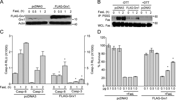 Overexpression of Grx1 decreases S-glutathionylation of Fas, caspase-8 and -3 activities, and cell death. (A) Assessment of Grx1 expression. C10 cells were transfected with pcDNA3 or Flag-Grx1 plasmids (1 µg/4 × 10 5 cells). Cells were stimulated with FasL + M2 for 2 h, and lysates were analyzed by immunoblotting for Grx1 expression. The bottom panel shows β-actin as a loading control. (B) Assessment of S-glutathionylation of Fas after overexpression of Grx1. pcDNA3 or Flag-Grx1–transfected cells were stimulated with FasL + M2, and after 2 h, S-glutathionylated proteins were immunoprecipitated using an antibody directed against glutathione (IP: PSSG). +DTT samples were used as reagent controls. The bottom panel represents Fas content in whole cell lysates (WCL). (C) Assessment of caspase-8 and -3 activities in cells after overexpression of Grx1. C10 cells were transfected with pcDNA3 or Flag-Grx1 plasmids and stimulated with FasL + M2. At the indicated times, cells were harvested, and lysates were prepared for evaluation of caspase activity. Results are expressed as mean ± SEM relative luminescence units (RLU)/20,000 cells. The graph represents triplicate values obtained from two independent experiments. *, P