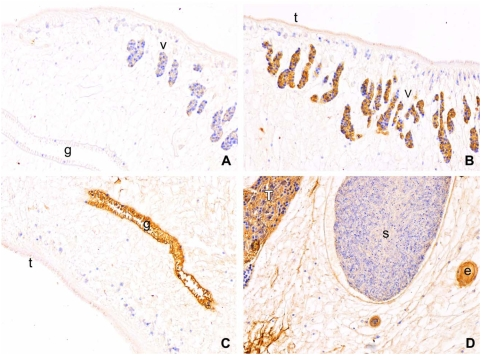 Immunolocalization of cathepsin F cysteine protease in adult Opisthorchis viverrini using thin sections of paraffin embedded worms probed with rabbit antiserum. (A) Representative section spanning the gut, vitellaria, parenchyma and tegument, probed with pre-immunization serum (negative control). Sections of adults, probed with the rabbit anti-cathepsin F serum, the vicinity of the tegument and vitellaria (B), tegument and gut (C), and testis, seminal receptacle, parenchyma and eggs (D). Gut (g), vitelline glands (v), egg (e) and testis (T) all showed strong positive reactions whereas the sperm seminal receptacle (s) was negative. The tegument (t) was faintly positive but the tegumental cells were negative for the cathepsin F cysteine protease. Immunoperoxidase staining, original magnification, ×100.