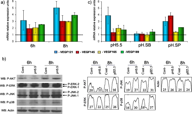 a Correlation between VEGF isoforms pattern inversion and the activation of stress signaling pathways in acidic conditions. After 8 h of pH 5.5 stimulation, the changes in VEGF isoform splicing pattern are more pronounced. b As shown by western blotting and densitometry quantification, at this time point, from the several signaling pathways analyzed, only the p38 MAPK ( p