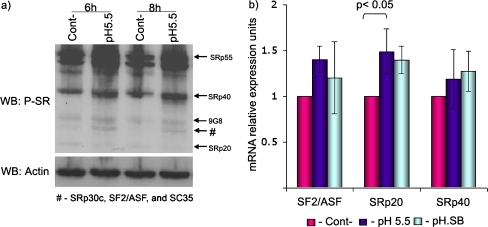 a SR proteins involved in the control of the <t>VEGF</t> splicing pattern. Most SR proteins were up-regulated in acidic conditions both after 6 and 8 h of exposure. b Expression of the SR protein SRp20, in <t>RL95,</t> increased significantly ( p