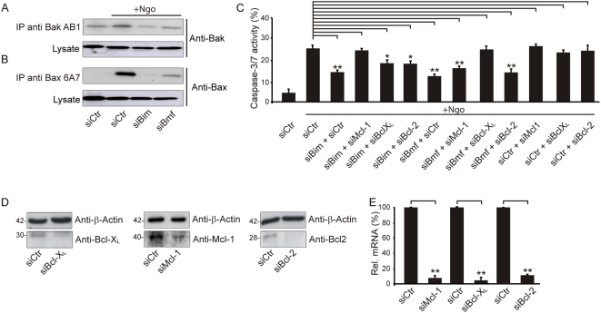 Bim-specific and Bmf-specific targeting of Mcl-1 and Bcl-X L . (A,B) The activation of Bak and Bax upon siRNA-mediated knockdown was visualized 15 h post-infection by immunoprecipitation with conformation-specific antibodies followed by SDS-PAGE and immunodetection with the indicated antibodies. (C) The network of Bcl-2 family proteins was analyzed by caspase activation assays after single or double knockdowns, 15 h post-infection. Shown are the means±SD of three independent experiments. (D,E) Knockdowns were validated by Western blot using the indicated antibodies (D) and qRT-PCR (E).