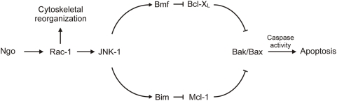 Model of Bim-dependent and Bmf-dependent apoptosis during Ngo-induced apoptosis. Ngo infection leads to a Rac-dependent activation of JNK-1 and a concurrent alteration of the cytoskeletal morphology. Upon JNK-1–mediated phosphorylation, the cytoskeleton-attached proapoptotic proteins Bim and Bmf are released. Subsequently, the antiapoptotic effects of Mcl-1 and Bcl-X L are abrogated by Bim and Bmf, respectively, leading to the activation of Bak and Bax and cell death.