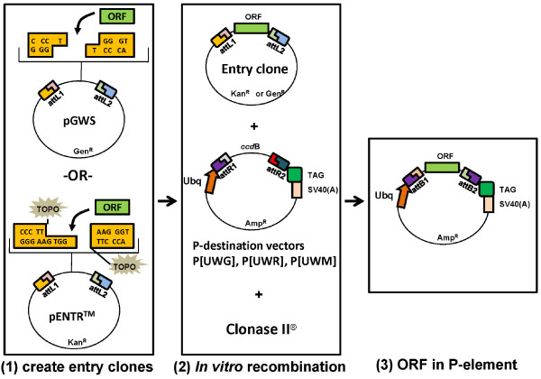 The Entry/Gateway ® cloning procedures for generating epitope-tagged fusion proteins using the P-element destination vectors . The procedures of Entry/Gateway ® cloning are illustrated in the diagram as two major steps. (1) In the first step, a fragment encoding the open reading frame (ORF) is inserted into an entry vector to generate entry clones. Two entry vectors were described in this study: ( i ) the pGWS which uses a TA-based method; ( ii ) <t>pENTR/D-TOPO</t> (Invitrogen) which uses a TOPO-based method. (2) In the second step, the ORF in the entry clone is recombined into one of the P-DEST vectors.
