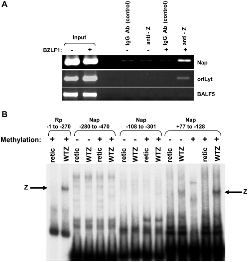Z binds to the Na promoter, and binding is enhanced by Nap methylation. (A) Latently infected EBV+ 293 Z-KO cells were transfected with a BZLF1 expression vector (+) or an empty vector control (−). Chromatin immunoprecipitation assay was performed 20 hours after transfection using anti-Z and control goat IgG antibodies as indicated to examine Z binding to the Na promoter (Nap), ZREs within the EBV oriLyt (positive control) and EBV sequences in the 3′ end of the EBV BALF5 gene (negative control). (B) The ability of in vitro translated Z to bind to 32 P end-labeled probes (in either the methylated, or unmethylated forms) containing the BRRF1 promoter (Nap) sequences from −280 to −470, −108 to −301, and +77 to −128 (relative to the BRRF1 mRNA start site) was examined by EMSA. A probe containing the BRLF1 promoter (Rp) sequences from −1 to −270 (in the methylated form) served as a positive control.
