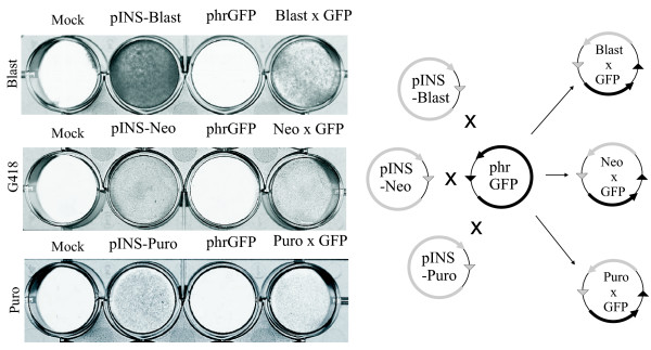 Functionality of Blast, Puro and <t>G418-resistance</t> genes from pINS plasmids is preserved in the products of recombination . Left part . Colony forming assay. HeLa cells transfected by 1 mkg of indicated plasmids were selected by either blasticidin S, puromycin or G418. After completion of selection the cells were stained by methylene blue. Insertion vectors pINS-Blast, pINS-Neo and pINS-Puro and the products of their recombination with Target vector phrGFP (Blast × GFP, Neo × GFP and Puro × GFP) provide HeLa cells with the resistance to blasticidin S, G418 or puromycin respectively. Right part . Schematic representation of the Cre-mediated recombination between Insertion vectors pINS-Blast, pINS-Neo and pINS-Puro and Target vector phrGFP.
