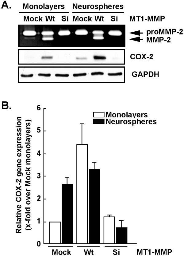 Cell-based evidence that MT1-MMP directly regulates COX-2 expression in U87 glioma cell lines . Monolayers or neurospheres from glioblastoma-derived cells were either Mock-transfected, transfected with a cDNA plasmid encoding MT1-MMP (Wt), or transfected with an siRNA (Si) against MT1-MMP as described in the Methods section. (A) Gelatin zymography was performed to monitor the extent of latent proMMP-2 and active MMP-2 expression from the conditioned media of the serum-starved cells. Cell lysates were isolated from U87 glioblastoma-derived cells and SDS-PAGE performed (20 μg protein/well), followed by Western-blotting and COX-2 or GAPDH immunodetection. (B) Total RNA was isolated from monolayers (white bars) or neurospheres (black bars) of U87 Mock-transfected cells, or from U87 cells transfected with MT1-MMP cDNA or siRNA against MT1-MMP, and reverse-transcribed as described in the Methods section. Quantitative PCR was performed in order to monitor COX-2 gene expression levels.