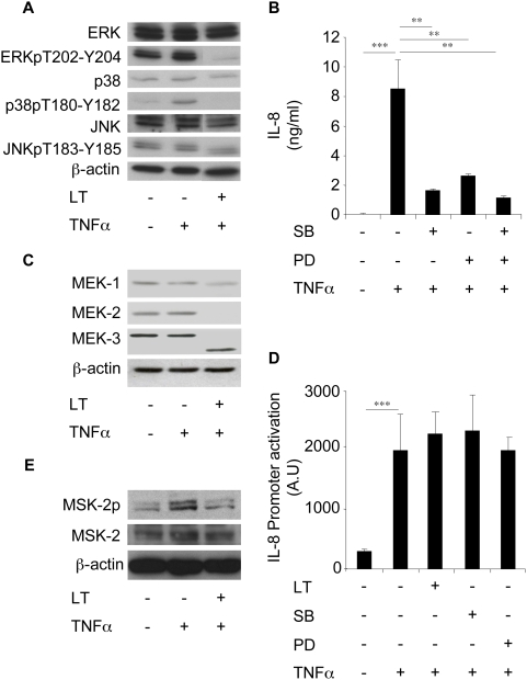 LT inhibits IL-8 expression via a MAPK-dependent pathway in Beas-2B cells. (A) Beas-2B cells were incubated for 1 h with LT (1 µg/ml) and stimulated with TNFα (10 ng/ml) for an additional 2 h. Western blot analyses were performed using antibodies directed against ERK, phospho-ERK (ERKpT202-Y204), p38, phospho-p38 (p38pT180-Y182), JNK, and phospho-JNK (JNKpT183-Y185) and were normalized with ß-actin antibody. (B) Cells were pretreated with SB203580 (10 µM) or PD98059 (10 µM) for 1 h before incubation with TNFα (10 ng/ml). IL-8 concentrations were measured in supernatants after 24 h stimulation. (C) Cells were incubated for 1 h with LT (1 µg/ml) and stimulated by TNFα (10 ng/ml) for an additional 2 h. Western blot analyses were performed using antibodies directed against MEK-1, MEK-2, and MEK-3 and were normalized with ß-actin antibody. (D) Cells were transfected with an IL-8 promoter reporter plasmid, and then incubated for 1 h with LT (1 µg/ml), SB203580 (10 µM), or PD98059 (10 µM) before addition of TNFα (10 ng/ml). Luciferase activity was then measured after 24 h stimulation. (E) Cells were incubated for 1 h with LT (1 µg/ml) and stimulated by TNFα (10 ng/ml) for an additional 45 min. Western blot analyses were performed using antibodies directed against MSK-2 and phospho-MSK-2 and normalized with ß-actin antibody.