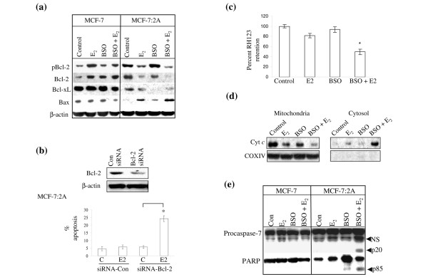 Effect of buthionine sulfoximine (BSO) and 17β-estradiol (E 2 ) on Bcl-2 family protein expression and mitochondrial function in MCF-7 and MCF-7:2A cells. (a) Western blot analysis for pBcl-2, Bcl-2, Bcl-x L , and Bax protein expression in parental MCF-7 cells and MCF-7:2A cells following 48 h of treatment with ethanol vehicle (Control), 1 nM E 2 , 100 μM BSO, or E 2 + BSO. Equal loading was confirmed by reprobing with an antibody against β-actin. (b) Small interfering RNA (siRNA) knockdown of Bcl-2 partially sensitizes MCF-7:2A cells to E 2 -induced apoptosis. Cells were transfected with 100 nM siRNA-Bcl-2 or siRNA-Con (control) and expression levels of Bcl-2 was determined by immunoblot analysis (top). Annexin V staining (bottom) showing the effects of siRNA-con and siRNA-Bcl-2 on apoptosis induced by estradiol treatment in MCF-7:2A cells. *, p