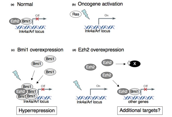 Model for the different oncogenic roles of EZH2 and BMI1 . (a) In normal development, genes such as the INK4a/ARF locus are bound by EZH2, marked by H3K27me3 and bound by BMI1. (b) On oncogene activation (indicated by lightning symbol) such as constitutive Ras or Myc expression, the INK4a/ARF locus becomes expressed as part of a tumour suppressive response. (c) Increased BMI1 expression results in more BMI1 protein binding to known Polycomb group (PcG)-target genes. This prevents activation of these genes even when signals are present that would normally activate these genes. (d) Increased EZH2 expression does not prevent INK4a/ARF activation (although this locus may still be inactivated by other mechanisms). In contrast, the role of EZH2 in tumourigenesis may be due to silencing of genes not normally targeted by PcG or due to methylation of non-histone proteins (indicated by diamond on protein 'X').