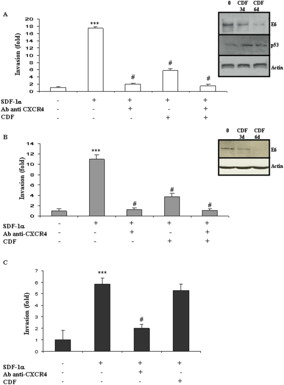 In vitro cell invasion is stimulated by the SDF-1/CXCR4 pathway independently from HPV status. The modulation of E6 expression was monitored using Western-blot in HPV-positive HeLa (A) and TC-1 (B) cells and in HPV-negative B16F10 (C) cells, after 3 and 6 days of incubation with Cidofovir (CDF). Modulation of P53 expression was assessed in HeLa cells after CDF incubation (A). Cell invasion was measured using a Matrigel assay in HeLa (A), TC-1 (B) and B16F10 (C) cells. Recombinant human CXCL12/SDF-1 (100 ng/mL; R D Systems) was used as chemoattractant and modulation of cell migration was recorded after treatment with CXCR4-blocking antibody or/and Cidofovir (CDF). The invasion rate was determined by counting crystal violet-stained cells. Invasion was stimulated by SDF-1α/CXCR4 independently from the HPV status of the cells but Cidofovir anti-invasive action was restricted to the two HPV-positive cell lines. Three independent experiments with three chambers each time were performed. ***P