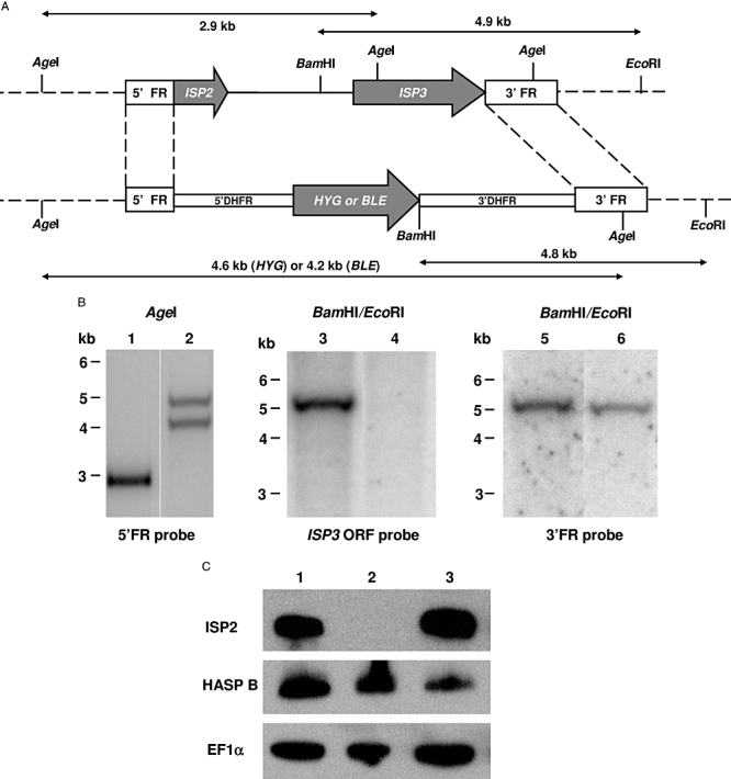 Generation of ISP2 and ISP3 double null mutants. A. Schematic representation of the ISP2–ISP3 locus in WT L. major (upper) and the constructs for gene deletion. ORFs are shown as grey arrows and 5′ FR and 3′ FR boxes represent the FR <t>DNA</t> sequences used for gene targeting. The predicted DNA fragment sizes after restriction digest are shown. HYG , hygromycin-resistance gene; BLE , phleomycin-resistance gene. B. Southern blot of the WT L. major (lanes 1, 3 and 5) and Δ isp2/3 (lanes 2, 4 and 6) digested with AgeI or EcoRI/BamHI and probed with <t>radiolabelled</t> 5′ FR, ISP3 ORF and 3′ FR probes. C. Western blot of cell extracts from 0.5 × 10 7 purified metacyclic promastigotes of WT L. major (lane 1), Δ isp2/3 (lane 2) and Δ isp2/3 : ISP2–ISP3 (lane 3) using antibodies against ISP2, HASPB and EF1α.
