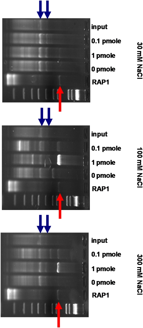The Rap1 DNA-binding domain is enriched in a sequence-specific and salt-dependent manner. A phage display library was affinity selected against indicated quantities of double-stranded DNA containing Rap1 binding sites under indicated salt conditions. Results from PCR of input phage library (input) or after second round of selection are shown. The intensity of a band is proportional to its abundance in the library. Lanes designated RAP1 indicate results of specific PCR against a single phage with the RAP1 DNA-binding domain known to be in the library and the red arrows mark the expected size of this clone. Gel-isolation and sequencing of the selected bands at this location confirmed that they correspond to this clone. The blue arrows point out the PCR products corresponding to the MCM1 DNA-binding domain (lower band) and MCM1 ORF (upper band). The remaining bands show variable enrichment as a function of salt concentration and likely represent non-specific enrichment during the selection.