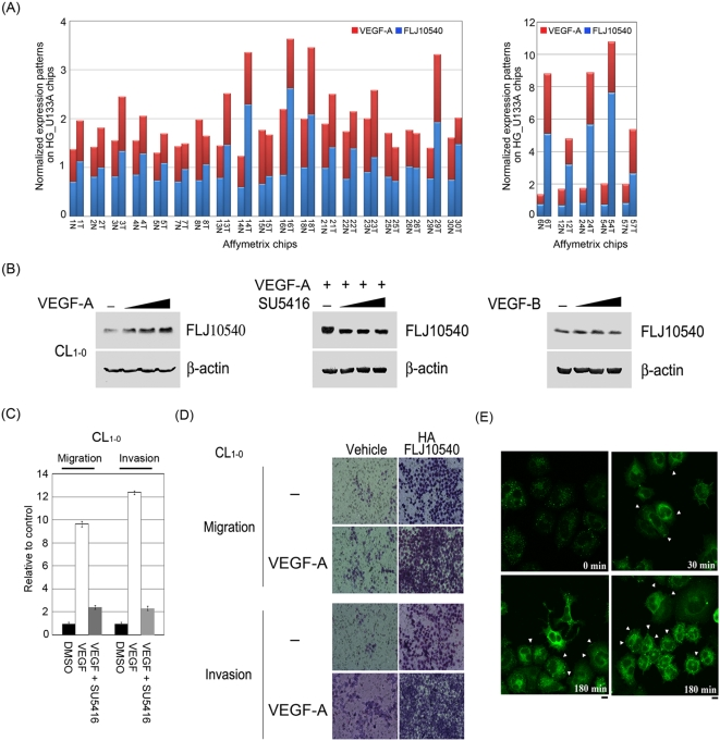 VEGF-A promotes FLJ10540 protein expression and enhances FLJ10540-induced migration and invasion in lung cancer cells. (A) The microarray expression patterns of VEGF-A and FLJ10540 in lung adenocarcinoma patients were shown. The results were normalized against the expression patterns of 56 chips (HG_U133A). N: adjacent non-tumor tissues; T: tumor tissues. (B, left panel) VEGF-A induced an increase in FLJ10540 protein levels in a dose-dependent manner. After treatment with various concentration of VEGF-A (left panel) or VEGF-B (right panel) for 10 min in CL 1-0 cells, the total proteins were extracted from CL 1-0 cells and probed with antibody against FLJ10540. (B, middle panel) Serum-starved CL 1-0 cells were pre-treated with or without various concentrations of SU5416 for 2 hours; cells were then stimulated with 20 ng/ml VEGF-A for 10 min. β-actin was used as an internal loading control. (C) Serum-starved CL 1-0 cells were pre-treated with or without SU5416 for 2 hours; cells were then stimulated with VEGF-A (at the concentration of 20 ng/ml) for 3 hours. The migration and invasion relative-folds were normalized against vehicle cells. (D, left, upper panel) For the migration assay, 5×10 3 cells of vehicle-CL 1-0 and CL 1-0 -FLJ10540 stable clones were seeded into the top of a Transwell insert and allowed to adhere for 12 hours, and were then incubated with or without VEGF-A (20 ng/ml) for 3 hours. At the end of the assay, the cells on the topside were scraped, and the cells that migrated to the bottom were fixed and stained with Giemsa. (D, left, bottom panel) For the invasion assay, 1×10 4 cells were seeded after Matrigel was added, and were then incubated with or without VEGF-A (20 ng/ml) for 3 hours. All of the data represent the mean±s.d. of three independent experiments. (E) Indirect immunofluorescence analysis of FLJ10540 in VEGF-A-treated cells. The protein expression and the subcellular localization of FLJ10540 were analyzed in the presence or absence of VE