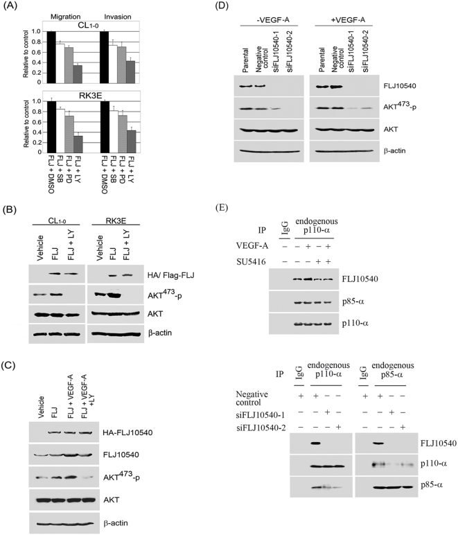 FLJ10540 alone or increased FLJ10540, mediated by VEGF-A stimulation, not only modulates cell migration and invasion through the PI3K/AKT signaling pathway, but also reinforces PI3K complex formation. (A) Vehicle-CL 1-0 , CL 1-0 -FLJ10540, vehicle-RK3E, and RK3E-FLJ10540 infected cells were serum-starved for 24 hours and treated with or without the indicated inhibitors, including SB202190, PD98059, and LY294002 for 2 hours. The migration and invasion ratios of vehicle-CL 1-0 , CL 1-0 -HA-FLJ10540, vehicle-RK3E, and RK3E-Flag-FLJ10540 infected cells were determined as previously described. (B) CL 1-0 and RK3E-expressing FLJ10540 cells were treated with or without LY294002 at the final concentration of 10 µM. The total cell lysates were subjected to immunoblot analysis for the unphosphorylated or phosphorylated form of AKT. β-actin was used as an internal loading control. (C) CL 1-0 cells expressing HA-FLJ10540 were pre-treated with or without VEGF-A (20 ng/ml). After 10 min, LY294002 (10 µM) was added and cells were further incubated for 2 hours. The total cell lysates were subjected to immunoblot analysis for HA, FLJ10540, or the unphosphorylated or phosphorylated forms of AKT. (D) A negative control siRNA and two different FLJ10540 siRNAs (siFLJ10540-1 and siFLJ10540-2) were transfected into CL 1-0 cells for 24 hours. After transfection, cells were treated with or without VEGF-A (20 ng/ml) for 10 min. Western blotting was performed as in (C). (E upper panel) Serum-starved CL 1-0 cells were pre-treated with or without SU5416 for 2 hours; cells were then stimulated with or without 20 ng/ml VEGF-A for 10 min. Cell lysates were immunoprecipitated with polyclonal antibodies against p110-α or protein IgG (as a control), which was followed by immunoblotting with p110-α, p85-α, and FLJ10540. (E lower panel) A negative control siRNA and two different FLJ10540 siRNAs (siFLJ10540-1 and siFLJ10540-2) were transfected into CL 1-0 cells for 24 hours. After transfection, cell lys