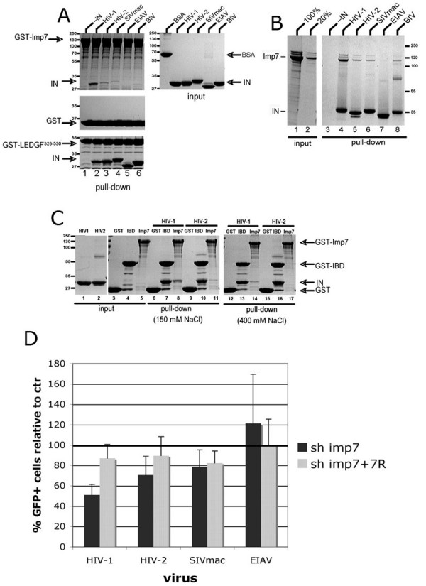 Lentiviral IN affinity for imp7 correlates with infection phenotype in imp7 KD cells . (A) GST-imp7 (top left), GST (middle), or GST-LEDGF 326–530 (bottom) immobilized on glutathione <t>sepharose</t> beads were incubated in the absence (lane 1), or presence (lanes 2–6) of untagged recombinant HIV-1, HIV-2, SIVmac, EIAV, or BIV IN in the pull-down buffer containing 130 mM NaCl. Proteins bound to glutathione sepharose beads were resolved in an SDS PAGE gel and detected by staining with Coomassie Blue. Input quantities of each soluble protein used are shown to the right. Migration positions of GST-Imp7, INs, GST, and GST-LEDGF 326–530 , and the molecular weight markers are indicated. (B) Non-tagged Imp7 was incubated in the absence (lane 3) or presence (lanes 4–9) of C-terminally hexahistidine-tagged INs from HIV-1, HIV-2, SIVmac, EIAV, BIV and Ni-NTA agarose beads in a pull down buffer containing 150 mM NaCl. Proteins captured on the resin were separated in a tricine SDS PAGE gel and detected with Coomassie Blue. Lanes 1 and 2 show 100% and 20% Imp7 input, respectively. (C) GST (lanes 3, 6, 9, 12, 15), GST-LEDGF 326–530 (lanes 4, 7, 10, 13, 16), or GST-imp7 (lanes 5, 8, 11, 14, 17) were incubated without (lanes 3–5), or with non-tagged HIV-1 (lanes 6–8, 12–14) or HIV-2 (lanes 9–11, 15–16) INs. The pull-down buffer contained 150 mM (lanes 3–11) or 400 mM (lanes 12–17) NaCl. Lanes 1 and 2 contained input quantities of HIV-1 and HIV-2 INs, respectively. (D) DxR KD and imp7 KD cell populations were infected with VSV-G pseudotyped HIV-1, (pHR'), SIVmac, HIV-2 and EIAV vectors expressing GFP at an MOI of 0.03 and the percentage of GFP+ cells counted 24 hours after infection by flow cytometry. Data are expressed as average percentage of infection relative to control (shDxR) ± SD of two independent experiments performed in duplicate.