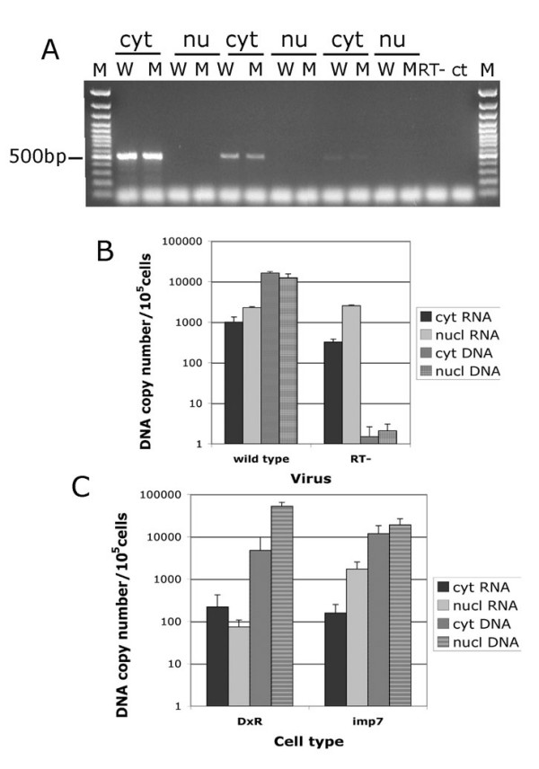 Imp7 KD inhibits viral DNA but not viral RNA accumulation in the nuclei . (A) HeLa cells were infected with a <t>DNAse-treated</t> and purified HIV-1 vector and incubated for 2 hours at 4°C and then 4–6 hours at 37°C. Infected cells were fractionated into nuclear and (a) cytoplasmic fractions and nucleic acids extracted, purified and divided into two aliquots. One aliquot was treated with RNAse A, re-purified and used for DNA quantification. The other aliquot was treated with RNAse-free DNAse and used for first-strand cDNA synthesis. Cyclophillin A cDNA was then amplified by PCR in each fraction to examine cross-contamination of nuclear fractions with cytoplasmic material and the overall efficiency of first-strand cDNA synthesis. Cyt, cytoplasmic fractions; Nu, nuclear fractions; W, wild-type virus; M, mutant virus; RT-, cytoplasmic fraction with no RT during first-strand cDNA synthesis; ctr-, primers only; Mw, GeneRuler 100 bp DNA molecular weigh marker. The band migrating at approximately 500 bp is cyclophilin A, lower molecular weigh bands are PCR artefacts. The experiments were performed using 10 fold serial dilutions of the cDNA mix. (B) HIV-1 RNA accumulates in the nuclei shortly after infection. HeLa cells were infected at an MOI of approximately 0.2 with a VSV-G pseudotyped HIV-1 vector (wild type) or with the same amount (p24 normalized) of vector with a mutation in RT and unable to reverse transcribe (RT-). Cells were incubated for 2 hours at 4°C and then 4 hours at 37°C following which samples were fractionated in nuclear and cytoplasmic fractions and treated as described in (A). Taqman PCR was used to measure the amount of viral DNA and RNA in each fraction. First-strand cDNA synthesis reactions carried out in the absence of RT gave undetectable signal. Values shown are average values ± SD of triplicate experiments. Similar results were obtained in two independent experiments. (C) Accumulation of HIV-1 DNA is reduced in imp7 KD cells. HeLa DxR or imp7 KD cells were infected with the same dose of a VSV-G pseudotyped HIV-1 vector, incubated 2 hours at 4°C and then 6 hours at 37°C, following which nuclear and cytoplasmic extracts were prepared and treated as described in (A). After first-strand cDNA synthesis, Taqman PCR was used to measure the amount of viral DNA and RNA in each fraction. First-strand cDNA synthesis reactions carried out in the absence of RT gave undetectable signal. Values shown are average copy number of viral RNA or DNA/μg total nucleic acids ± SD of triplicate experiments. Similar results were obtained in two independent experiments.