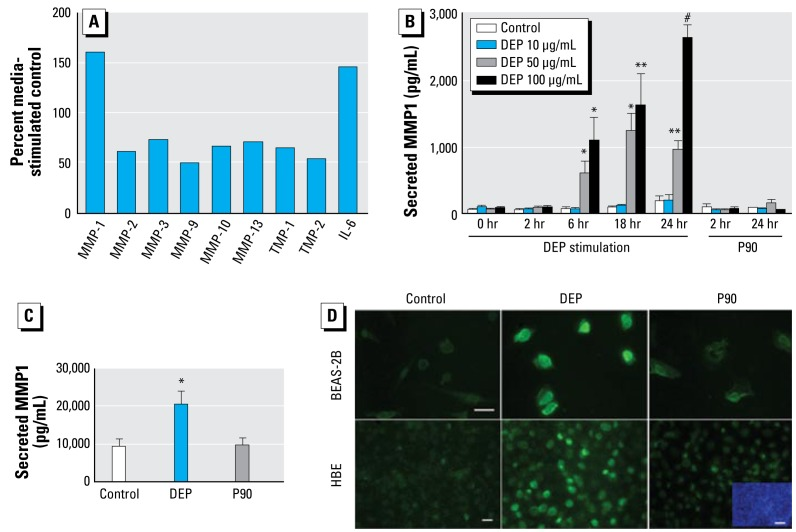 Active MMP-1 is secreted from HBE in response to DEPs. ( A ) Results of MMP and cytokine screen of DEP-stimulated BEAS-2B cell supernatant: secretory responses of several MMPs, TIMPs, and IL-6 (positive control). Cells were stimulated in triplicate (50 μg/mL DEPs; supernatants pooled after 6 hr). ( B ) After exposure to increasing concentrations of DEPs, secretion of MMP-1 by BEAS-2B cells followed a time course and a dose–response pattern by ELISA. P90 nanoparticles served as control; experiment conducted six times. ( C ) In primary HBE, DEP (100 μg/mL) exposure evoked robust MMP-1 secretion by ELISA. Note also the high amount of unstimulated MMP-1 secretion. P90 nanoparticles served as control; experiment conducted in triplicate. ( D ) MMP-1 immunofluorescence (BEAS-2B, primary HBE cells) identifies cell-bound MMP-1 immunoreactivity (green). In BEAS-2B cells, stimulation with P90 nanoparticles does not surpass background; DEP stimulation (100 μg/mL) leads to robust up-regulation, uniformly staining all cells. Specificity of the DEP MMP-1 response could also be observed in primary HBE cells, yet here a more heterogeneous MMP-1 immunoreactivity is apparent. 4'-6'-diamidino-2-phenylindole (DAPI) nuclear stain illustrates increased cell density (blue insert in the lower right-hand micrograph). Scale bars = 20 μm for MMP-1 immunolabeling, 80 μm for the DAPI. * p