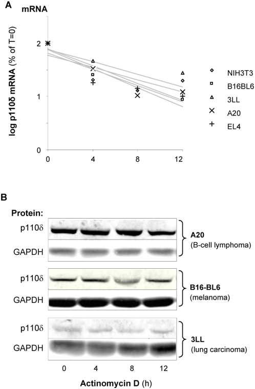 Equal p110δ mRNA stability in leukocytes and non-leukocytes. The indicated cell lines were treated with Actinomycin D (4 µg/ml), an inhibitor of de novo RNA synthesis, for the indicated time points followed by quantification of either p110δ mRNA (A) or p110δ protein (B). p110δ mRNA was quantified by real time RT-PCR, using normalisation for 18S RNA. p110δ mRNA levels are presented in a semi-log plot.
