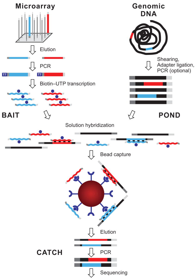 """Overview of hybrid selection method. Illustrated are steps involved in the preparation of a complex pool of biotinylated RNA capture probes (""""bait""""; top left), whole-genome fragment input library (""""pond""""; top right) and hybrid-selected enriched output library (""""catch""""; bottom). Two sequencing targets and their respective baits are shown in red and blue. Thin and thick lines represent single and double strands, respectively. Universal adapter sequences are grey. The excess of single-stranded non-self-complementary RNA (wavy lines) drives the hybridization. See main text and Methods for details."""