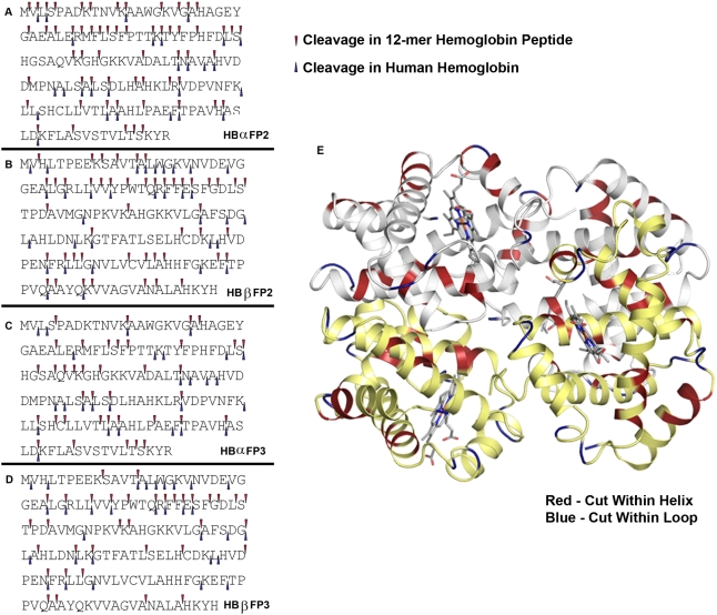 Hemoglobin cleavage sites for falcipain-2 and falcipain-3. A–D. Globin peptides and intact human hemoglobin. Cleavage sites for the two proteases based on analysis as described in Methods of hydrolysis of 12-mer peptides (top arrows, data from all time points) and intact hemoglobin (lower arrows, data from both 180 min and overnight time points) are shown for α and β globin. E. Intact human hemoglobin. The schematic shows α globin subunits in white and β globin subunits in yellow. P 1 residues at cleavage sites within helices are in red and within loops are in blue.