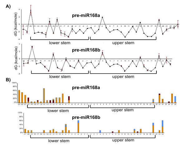 Thermodynamic stability and nucleotide substitution profiles of pre-miR168a and pre-miR168b . A) Thermodynamic stability profile of pre-miR168a and pre-miR168b in the Brassicaceae family. Free energy values are given in kcal/mole. Vertical bars: between-species variability calculated as double standard error. B) Distribution of nucleotide substitutions with respect to base pairing in the pre-miR168a and pre-miR168b secondary structures. Yellow: structurally conservative base substitution; ochre: base substitution comporting a change in length of a bulge loop; blue: base substitution comporting a change from unpaired to paired bases; red: base substitution comporting a change from paired to unpaired bases. The rate of nucleotide substitution is given in percentages.