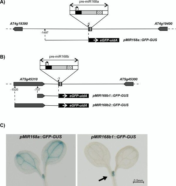 Expression pattern of MIR168 paralogs in Arabidopsis . A) Genomic region encompassing MIR168a ; B) genomic region encompassing MIR168b . Black box: mature miR168; dashed box: miR168*; white boxes: 20 bp sequences forming the basal stem; light gray box: miR168 loop region; dark gray boxes: nearest exons in the genes upstream and downstream of MIR168 , arrows indicate gene orientation. Distances are drawn to scale, with the exception of pre-miR168 (to a larger scale for clarity); +1 is the first nucleotide of the mature miR168. The pMIR168a::GFP-GUS , pMIR168b1::GFP-GUS and pMIR168b2::GFP-GUS constructs are represented underneath the genomic regions. C) GUS-staining of Arabidopsis transformant lines carrying the pMIR168a::GFP-GUS and pMIR168b1::GFP-GUS constructs.