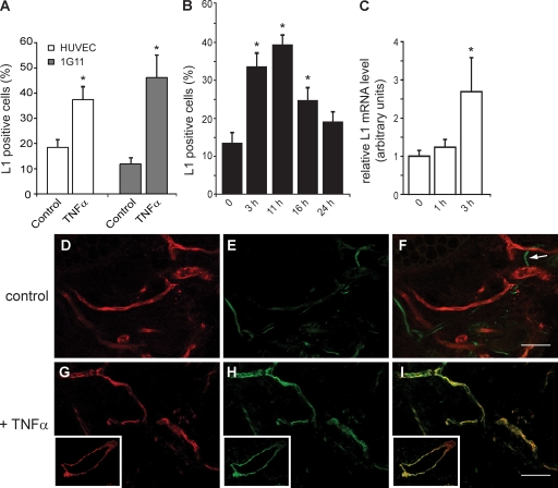 TNF-α induces L1 expression in endothelium. (A) HUVEC or 1G11 cells were starved of serum and endothelial growth factors and then treated with 20 ng/ml TNF-α for 3 h, followed by FACS analysis for L1 expression. (B) HUVEC were treated with 20 ng/ml TNF-α for the indicated time lengths, followed by FACS analysis for L1 expression. The data refer to the percentage of L1-positive cells in a representative experiment. Each experiment was repeated three times with similar results. (C) HUVECs were treated with 20 ng/ml TNF-α for the indicated time lengths before isolation of RNA and quantitative RT-PCR analysis for L1 expression. Data represent the means ± SEM of three experiments performed. *, P