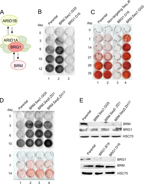 Differentiation phenotypes in BRM- and BRG1-depleted cells. A , the multisubunit SWI/SNF chromatin-remodeling complex contains a core ATPase, either BRG1 or BRM, plus seven or more non-catalytic subunits. Of these, ARID1A and ARID1B are also mutually exclusive alternatives. Either ATPase can associate with either ARID family member ( 25 , 35 ), such that there are at least four distinct subsets of the SWI/SNF complex. B , parental and knockdown cell cultures were induced for the time intervals indicated, fixed with methanol, and reacted with the substrate BCIP/NBT to reveal alkaline phosphatase activity; positive cells stain purple-black. Seq , sequence. C , induced cell monolayers were stained at later time intervals with Alizarin Red S, which indicates the presence of calcium-containing compounds in the cell matrix. D , the phenotype of three independent BRM knockdown lines, generated with two different shRNA sequences, was analyzed as described in panels B and C. E , total cell lysate from parental and knockdown lines (indicated above the lanes) was probed with antibodies specific to either BRM or BRG1, as indicated to the right . An antibody probe for the constitutively expressed HSC70 protein was used as a loading control.