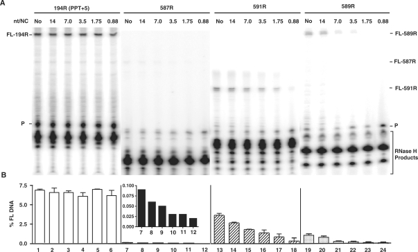 Effect of HIV-1 NC on plus-strand initiation with four RNA primers. The 194R (PPT+5), 587R, 591R and 589R primers were extended by HIV-1 RT in the absence or presence of HIV-1 NC. ( A ) Gel analysis. FL DNA products synthesized during primer extension after incubation at 37°C for 30 min in the absence (No) (lanes 1, 7, 13, 19) or presence of increasing concentrations of HIV-1 NC as follows: 14 nt/NC (0.17 µM), lanes 2, 8, 14, 20; 7 nt/NC (0.34 µM), lanes 3, 9, 15, 21; 3.5 nt/NC (0.7 µM), lanes 4, 10, 16, 22; 1.75 nt/NC (1.4 µM), lanes 5, 11, 17, 23; 0.88 nt/NC (2.7 µM), lanes 6, 12, 18, 24. The positions of the primer (P) and the FL DNA products formed by 587R (55 nt), 591R (40 nt) and 589R (85 nt) are shown on the right and for 194R (80 nt), on the left. The bracketed bands are RNase H cleavage products. The sizes of the DNA products were verified with appropriate markers. ( B ) Bar graphs showing the percentage of total radioactivity in a given lane present as the FL 32 P-labeled DNA (% FL DNA) as a function of NC concentration. The numbers below each bar in the bar graph also correspond to the lane numbers of the gel. Note that the inset in the bar graph for 587R shows the values for % FL DNA on an expanded scale. Symbols: 194R (PPT+5), open bars; 587R, filled bars; 591R, hatched bars; and 589R, stippled bars.