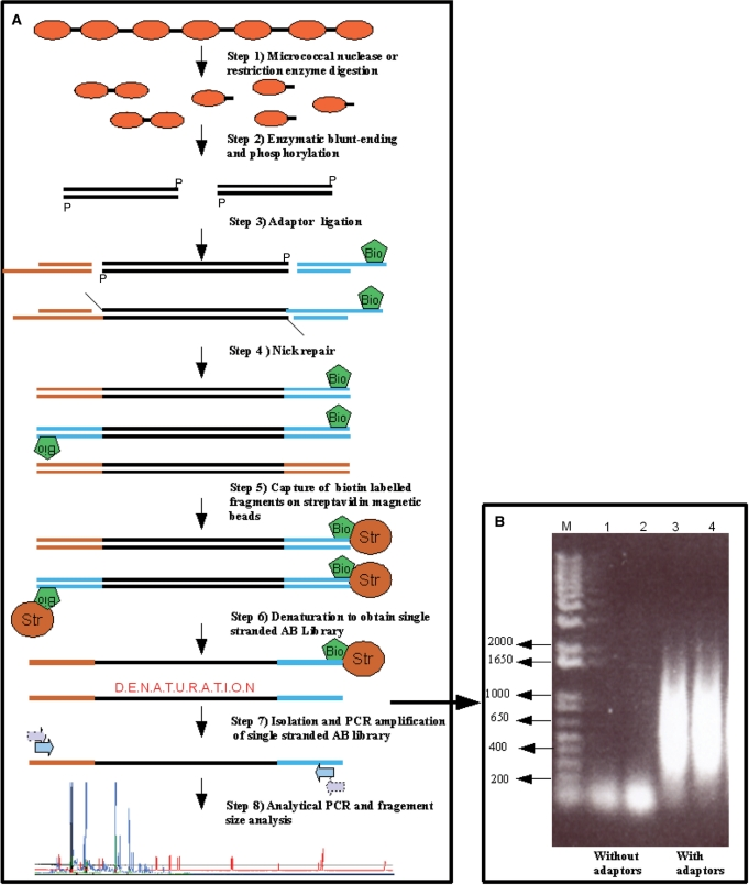 Overview of the experimental steps required to create and analyse a chromatin accessibility library. ( A ) Step 1: fungal mycelia pre-grown under specific conditions or isolated <t>DNA</t> ( in vitro controls) are processed as described in Materials and methods section and digested with MNase or restriction enzymes of choice. Step 2: digested DNA is blunt-ended and phosphorylated by subsequent treatment of the chromatin with Klenow fragment polymerase, T4 polynucleotide kinase. This step produces blunt-ended DNA fragments for ligation with adaptors. Step 3: DNA fragments are ligated with double-stranded adaptors A and B, originating from oligonucleotides Adaptor-A short and Adaptor-A long or Adaptor-B short and Adaptor-B long , where adaptor oligonucleotide B long is biotinylated for later retention on the streptavidin beads. In this step, fragments containing all adaptor combinations (A-A, A-B and B-B) are generated. Step 4: the ligation step leaves nicks at the 3′-terminus that are repaired by <t>Bst</t> polymerase treatment. Step 5: all fragments containing biotinylated adaptor B are captured on streptavidin-coated magnetic beads. At this step, adaptor A-A fragments are lost. Step 6: after a washing step, the retained fragments (adaptors A-B and B-B fragments) are denatured at 95°C. The denaturation step results in the release of single strands which exclusively carry A-B adaptor fragments. Step 7: the single-stranded A-B adaptor fragment library is amplified by a nested PCR approach to give the final A-B fragment library. The input and output fragment libraries are quality controlled by amplification with single A and B, as well as mixed A-B primers. Only the A-B primer mix should result in the amplification of fragments in the range of 200–1000 bp (see Panel B). Step 8: the resulting A-B adaptor fragment library is diluted and aliquots are used for analytical PCR amplifications for fragment size analysis of specific loci of interest. In the final analytical PCR step, either gene-specific or adaptor-specific primers can be labelled for subsequent capillary sequencer analysis. The chromatograms are finally analysed by image analysis software. ( B ) Example of quality control of A-B adaptor fragment libraries. Two input chromatin fragment libraries without adaptor ligation (lanes 1 and 2) are compared to two output libraries with adaptor ligation as described in Materials and methods section (lanes 3 and 4). Libraries originating from nitrate-grown cells (lanes 1 and 3) as well as from ammonium-grown cells (lanes 2 and 4) are shown as an example. M, DNA size marker.