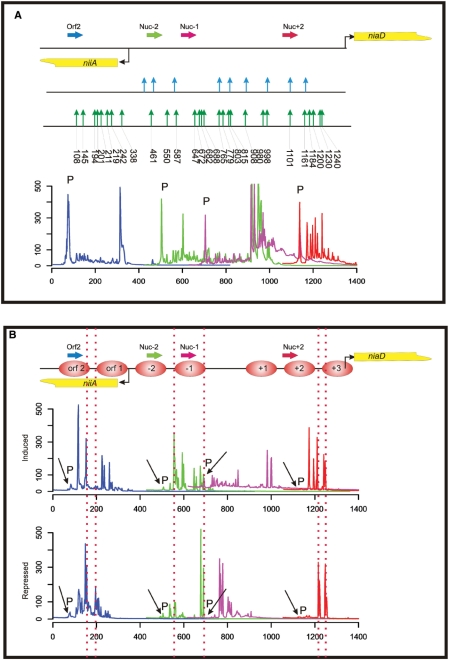 MNase accessibility assay of the A. nidulans niiA-niaD locus employing the library-based chromatin analysis method. ( A ) Overview of the bidirectional promoter driving gene expression of niiA and niaD (the transcriptional start points of the genes are indicated by bent arrows). A summary of MNase hypersensitive sites obtained from in vitro digested control DNA of the region is presented (indicated by vertical arrows). The MNase sites determined by indirect end-labelling and hybridization ( 29 ) are shown in the upper part of this summary by blue vertical arrows and sites determined with the library approach in this work are shown in the lower part by green arrows. Numbers below the green arrows indicate the exact nucleotide position of the MNase cut in the niiA-niaD region. The fluorescently labelled gene-specific primers used for analytical PCR and subsequent fragment analysis are shown as horizontal arrows. The colour code of the primers represents the colour code of the fragment size profiles. Below the locus overview, we show the overlapping fragment size profiles of this region composed by processing the original sequencer chromatograms as described in Materials and methods section. Signals originating from the labelled primers still present in the fragment analysis reaction mixture after the analytical PCR reaction (not incorporated primers), are indicated by a 'P' directly above the corresponding peak. ( B ) Overlapping fragment size profiles in the niiA-niaD region obtained by PCR amplification of MNase digest libraries with labelled locus-specific primers. Nucleosomes are numbered consecutively from the central nfr between nucleosome −1 and +1 [according to Muro-Pastor et al. ( 29 )]. Nucleosomes positioned within the reading frame of niiA are depicted as orf 1 and orf 2. Two libraries are compared: (i) 'induced' indicates the profiles obtained from the library constructed from chromatin digestion of cells treated with nitrate as inducing agent; and (ii) '
