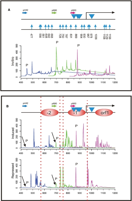 Nucleosome positioning analysis at the areA gene promoter. ( A ) Overview of the 700 bp promoter region of areA . The FAM-labelled gene-specific primers used for analytical PCR and subsequent fragment analysis are shown as horizontal arrows and named according to their relative position within the promoter sequence. The colours of the primers represent the colour code of the fragment size profiles. Blue arrowheads indicate the position of predicted AreA binding GATA sites in the promoter of this positively autoregulated gene. The start of the areA coding region (ORF) is indicated by the bent arrow. A summary of MNase hypersensitive sites obtained from fragment size analysis of the in vitro control DNA is presented (indicated by vertical blue arrows). Numbers below the blue arrows indicate the exact nucleotide position of the MNase cut in the areA promoter region. Overlapping fragment size profiles in the areA promoter obtained by fragment size analysis of the in vitro MNase digest library using the primers indicted above are shown below the locus overview. As in the other figures, 'P' indicates signals originating from non-incorporated labelled primers. ( B ) Overlapping fragment size profiles in the areA promoter obtained by fragment size analysis of the same MNase digest libraries as used for the analysis of the niiA-niaD region ( Figure 2 ). Analytical PCRs were carried out using labelled primers indicated in panel A. The areA promoter profiles of the two libraries (induced, repressed) are shown here. The nucleosome positioned within the reading frame of areA is depicted as orf 1 and nucleosomes in the promoter region are designated −1 and −2. Under conditions in which AreA is active on its own promoter (induced) additional MNase cutting sites are revealed in nucleosome −2 at position ∼650 bp, at the end of nucleosome −1 at position ∼930 bp as well as in the orf1 nucleosome. 'P' indicates non-incorporated primer signals.