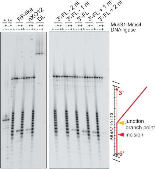 Mus81-Mms4 incises joint molecules at the branch point, adjacent to a phosphodiester backbone discontinuity. Denaturing urea–PAGE analysis of substrate incision sites on RF-like, nXO12, D-loop (DL) and five 3′-FL-related structures. Assays were performed with 10 nM His10-FLAG-Mus81/GST-Mms4, 50 nM substrate, 30 min at 30°C. Where indicated, reactions were then supplemented with 0.5 mM ATP/3 mM Mg(OAc) 2 and 10 U T4 DNA ligase, with incubation at room temperature for 15 min. All assays were terminated by boiling at 95°C, 2 min, with immediate transfer to ice. Nicked duplex DNA without a 5′-phosphate (*) is unligated by T4 DNA ligase, whereas nicked duplex DNA with a 5′ phosphate ( ** ) is ligated by T4 DNA ligase. 'L' represents an oligonucleotide size ladder. The scheme on the right side of the gel illustrates the substrate and cleavage site; the star denotes the position of the 5′ label.