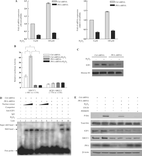 JWA regulates XRCC1 transcription via the MAPK signaling pathway and E2F1. ( A ) JWA knockdown in NIH-3T3 cells significantly inhibits H 2 O 2 -induced transcription of XRCC1. NIH-3T3 cells were transfected with a control <t>shRNA</t> or a JWA shRNA plasmid, followed by treatment with or without 100 μM H 2 O 2 for 30 min. Levels of JWA and XRCC1 transcription were detected by quantitative RT-PCR, and GAPDH was used as an endogenous control to normalize the differences in the amount of total <t>RNA</t> in each sample. ( B ) The E2F1-binding domain in the XRCC1 promoter is required for the JWA-mediated increase in XRCC1 expression after exposure to H 2 O 2 . NIH-3T3 cells were co-transfected with either control shRNA or JWA shRNA, together with the XRCC1 promoter-reporter (–881 to + 158, containing E2F1-binding domain) or an E2F1-binding site deleted XRCC1 promoter-reporter (ΔE2F1-XRCC1, –776 to + 158). After 24 h, the transfected cells were cultured with or without 100 μM H 2 O 2 for 30 min, then the reporter activity was examined. The means ± SD of triplicate experiments are shown. * P