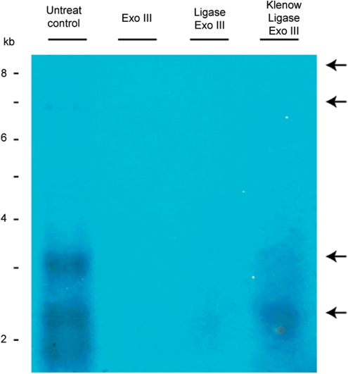 Effects of DNA ligase/Klenow fragment on minicircular DNA. Total DNA from H. triquetra was treated with T4 DNA ligase, as well as Klenow fragment followed with T4 DNA ligase, prior to Exo III digestion. Treated DNAs were resolved by PFGE and detected the minicircular DNA signals by Southern Blot. The two upper arrows indicated APBs in the untreated control lane. The two lower arrows indicated the putative monomer of psbA minicircle signals of ∼2–3 kb. DNA markers were linear DNAs from a commercial source (Invitrogen Corporation).