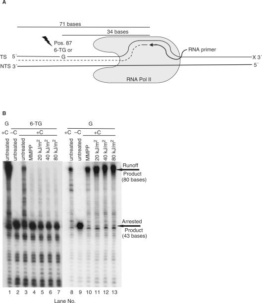 Inhibition of RNAPII transcription in vitro by oxidised template 6-TG. ( A ) In vitro transcription set-up. The transcription system comprises a radiolabelled 9-mer RNA primer and two 124-mer DNA oligonucleotides. The 124-mer transcribed strands contain either a single G or 6-TG at position 87. ( B ) Oxidation products of 6-TG block in vitro transcription. Transcribed strand oligonucleotides were treated with MMPP or UVA prior to formation of the ternary complexes. These were supplemented with GTP, ATP and UTP and transcription was initiated by purified S. cerevisiae RNAPII in the presence or absence of CTP. Transcription products were analysed by gel electrophoresis.