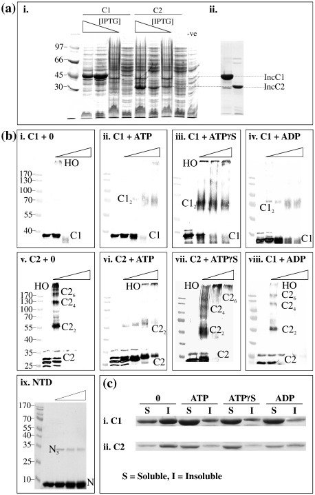 Purification and oligomerisation of IncC1/IncC2. (a) Overexpression and purification of IncC: (i) Comparison of the overexpression of His-IncC1 (C1) and IncC2 (C2) in BL21 and with decreasing IPTG concentrations of 1, 0.5, 0.1 and 0 mM. (ii) Elution samples from nickel-agarose column. (b) Glutaraldehyde cross-linking of IncC1 and IncC2 in the presence of nucleotides. Triangles indicate the increasing percentage of glutaraldehyde added (0, 0.001%, 0.01%, 0.05% and 0.1%; except for ATPγS and NTD, which have no 0.001%). Samples were separated by 9% SDS-PAGE, except for the NTD sample, which was separated by 14% SDS-PAGE. Molecular weight markers are in kilodaltons. HO indicates higher-order structures; C1, IncC1; C2, IncC2; and N, NTD. Subscripts denote the oligomeric state of the proteins. (c) Pelleting studies to show the solubility of IncC1 and IncC2 in the absence (0) or presence of 2 mM nucleotides. S indicates soluble; I, insoluble.