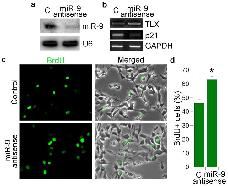 miR-9 antisense RNA promotes neural stem cell proliferation a. 2′-O-methyl miR-9 antisense RNA knocks down miR-9 mature form analyzed by Northern blot analysis. 2′-O-methyl antisense GFP RNA was included as a negative control (C) in all sections. U6 was included as a loading control. b. Expression of TLX and p21 in 2′-O-methyl miR-9 antisense RNA-treated neural stem cells analyzed by RT-PCR. GAPDH was included as a loading control. c. Neural stem cells were transfected with control RNA and 2′-O-methyl miR-9 antisense RNA. The transfected cells were labeled by BrdU staining (green). Merged panels show BrdU staining along with phase contrast images. d. Quantification of BrdU+ cells in control (C) and 2′-O-methyl miR-9 antisense RNA-treated neural stem cells. s.d. is represented by error bars. * p=0.03 by Student's t-test.