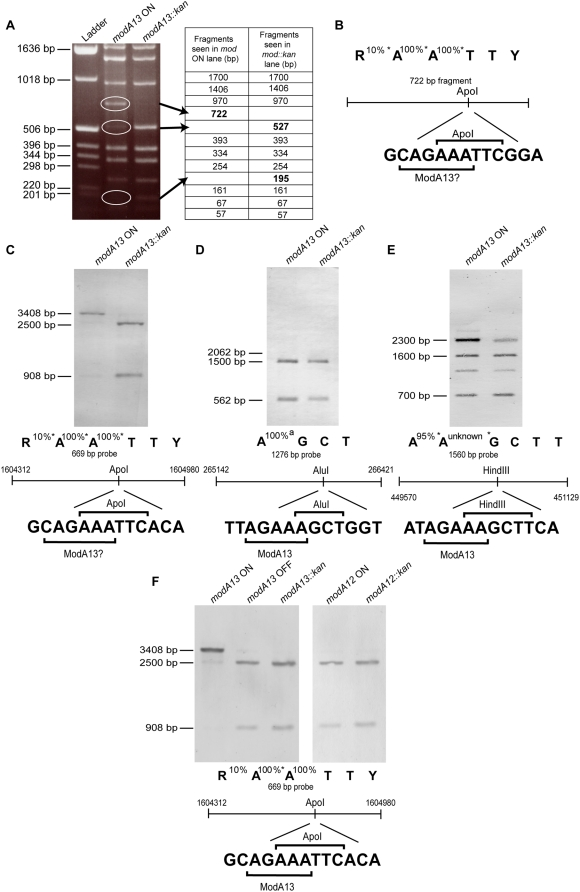 Identification of the ModA13 recognition methylation target sequence. (A) Apo I restriction digest of plasmid pCmGFP isolated from FA1090 modA13 ON and FA1090 modA13::kan cells. The modA13 ON lane shows the presence of a 722-bp fragment that results from lack of restriction at a single Apo I restriction site. In the modA13::kan lane, this fragment is cut into fragments of 527 and 195 bp. (B) The Apo I recognition sequence showing percentage inhibition of restriction by methylation of each adenosine as indicated by REBASE [27] , and a schematic diagram of the 722 bp pair fragment showing the Apo I recognition site, overlapping with a putative ModA13 recognition site. The central panels show Southern blots of chromosomal DNA extracted from modA13 ON and modA13::kan FA1090 cells. (C) DNA digested with Apo I and probed with a PCR product containing an ApoI /AGAAA overlap showed inhibition of digestion in the modA13 ON lane compared to the modA13::kan lane. (D) DNA digested with Alu I and probed with a PCR product containing an Alu I/AGAAA overlap showing no difference in restriction between the modA13 methylated and unmethylated chromosomes. (E) DNA digested with Rsa I and Hind III, and probed with a PCR product containing a Hind III/AGAAA overlap, showed restriction is inhibited in the modA13 ON lane as compared to the modA13::kan lane. Below each blot is the recognition site for each of the restriction enzymes used, and their known sensitivities to adenosine methylation as supplied by REBASE in the case of Apo I and Hind III [27] . Schematics of the probes used in each blot include the coordinates of the FA1090 genome to which the primers bind (see Table S7 ) and the overlap of the restriction enzyme recognition sequence with that of ModA13. (F) Chromosomal DNA extracted from N. gonorrhoeae strains FA1090 modA13 ON, modA13 OFF, modA13::kan , and 96D551 modA12 ON and modA12::kan cells, digested with Apo I and probed as in (C).